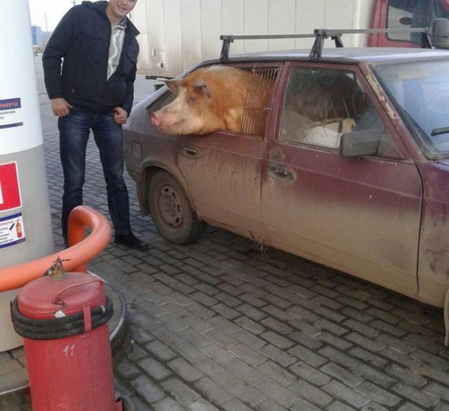 Лада - машина для перевезення гною та свиней