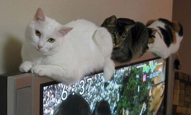 Плоскі телевізори не перешкода для котів