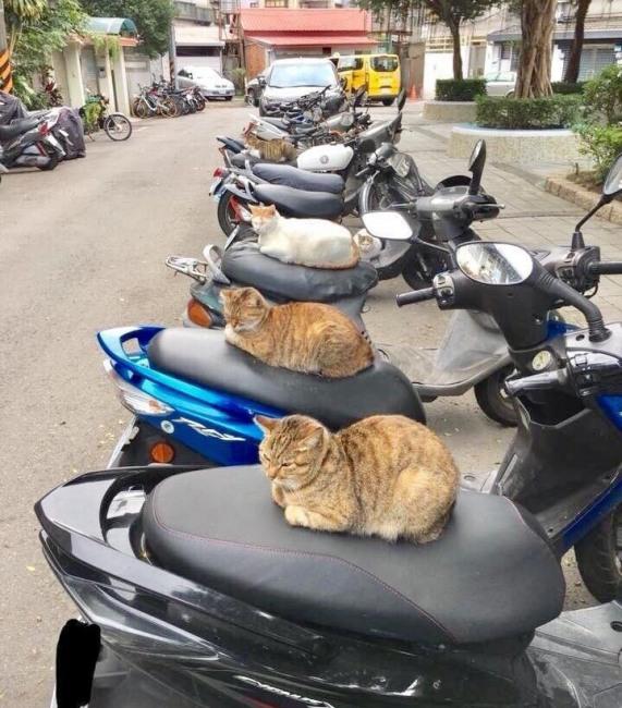Вартові коти