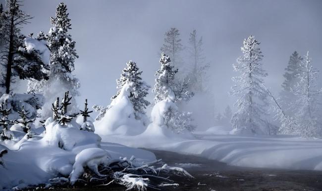 Ялинки в снігу