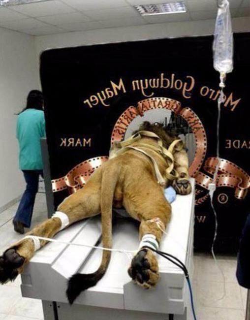 Так знімали знамениту заставку Metro-Goldwyn-Mayer