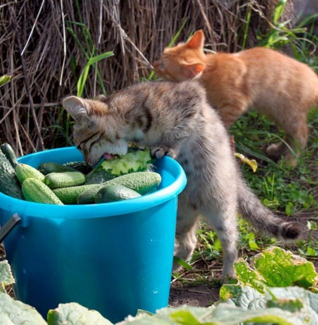 Кіт вегетаріанець
