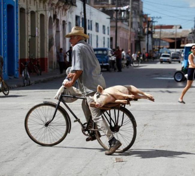 Найзручніший метод перевезення свиней