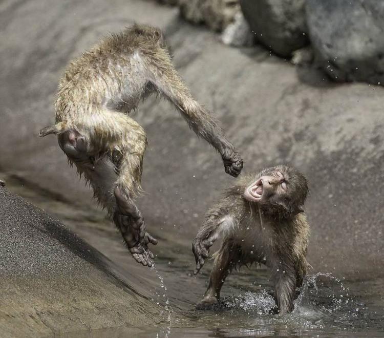 Мавпяча бійка