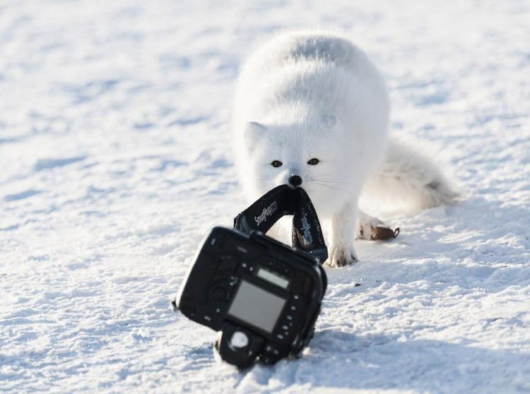 Песець прийшов фотопарарату