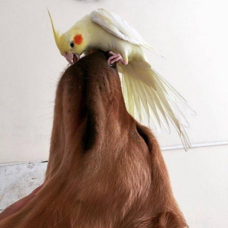 Хоробрий папуга