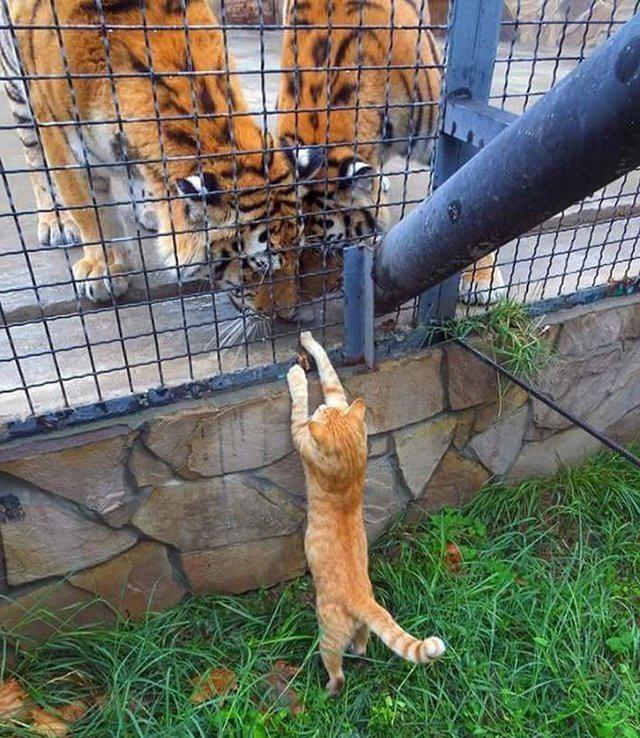 І я майже тигр