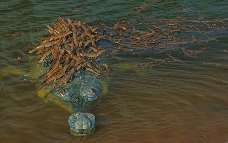 Крокодилиця з виводком