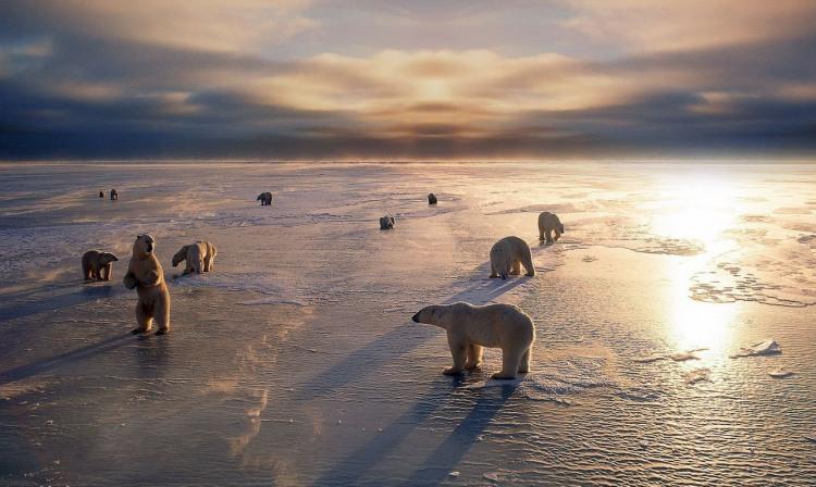 Стадо білих ведмедів