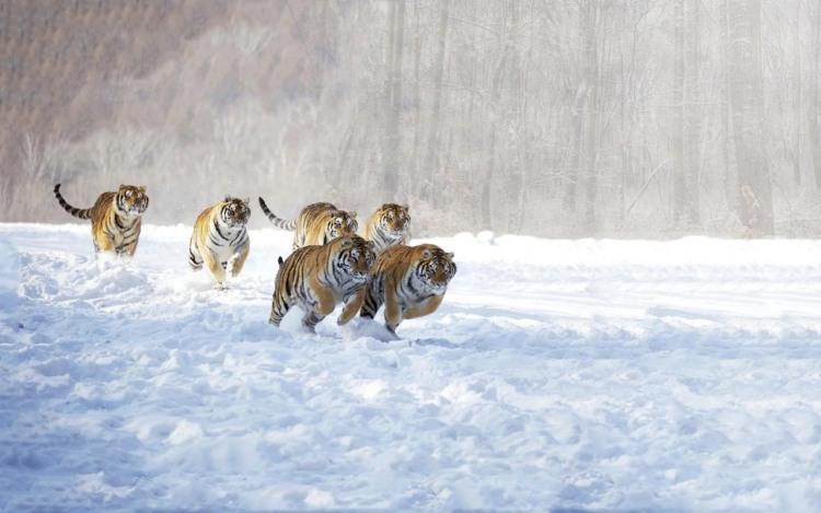 Стадо тигрів