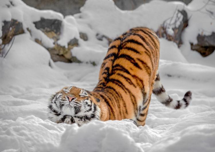Тигр потягується як звичайний домашній кіт
