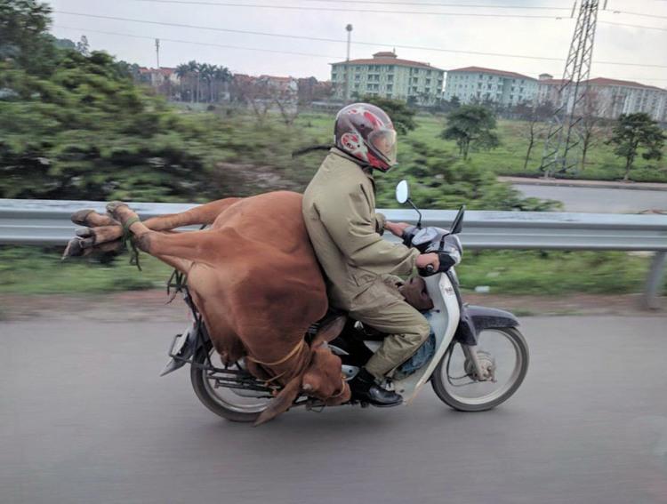 Перевезення корови на мотоциклі - це просто