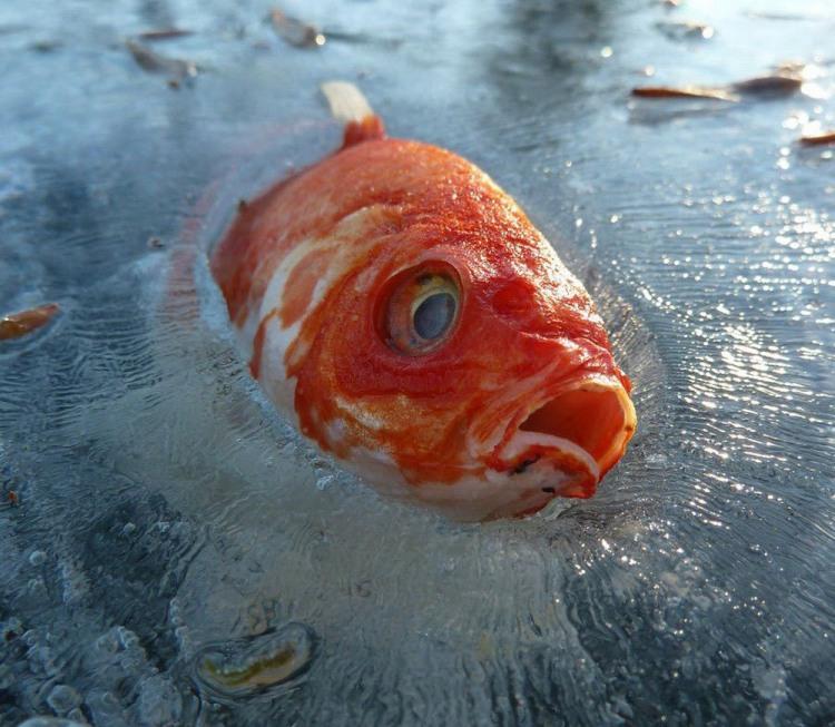 Дуже різко похолодало і риба замерзла в льоді
