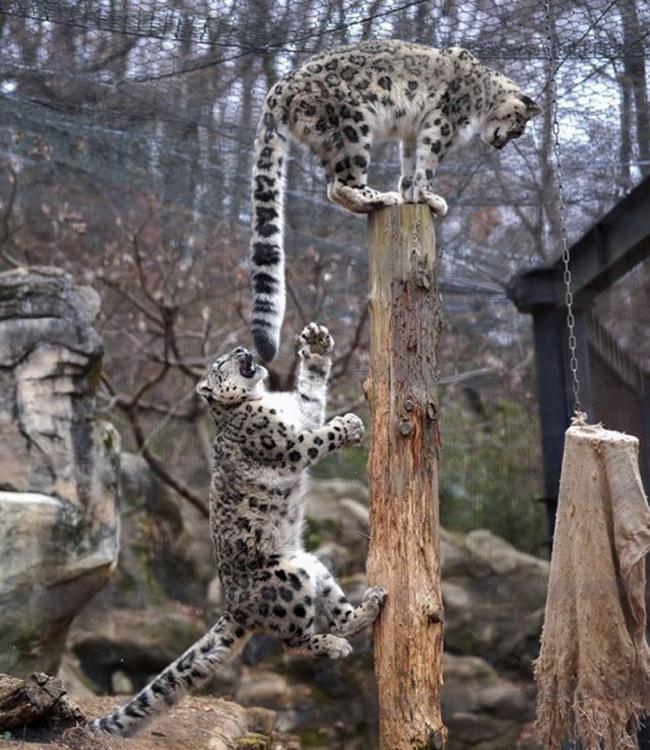 Ягуар грається з хвостом ягуара