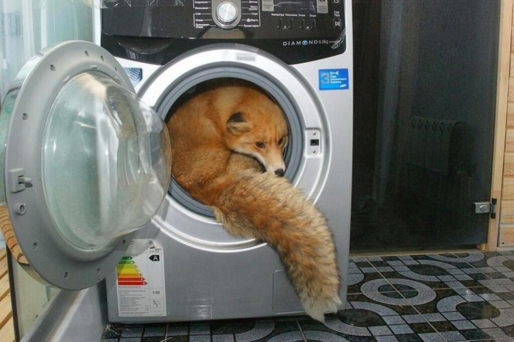 Лисиця хоче помится