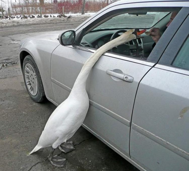 Голодний гусак