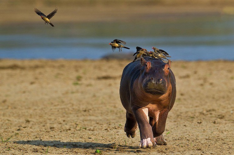 Бегемот і пташки