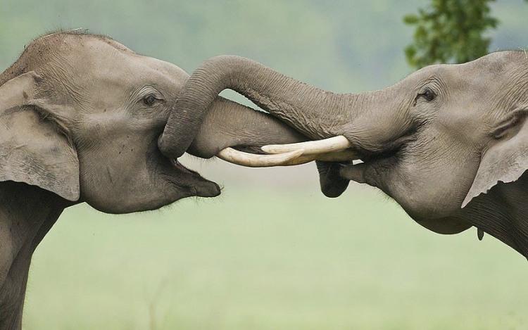 Слони цілуються