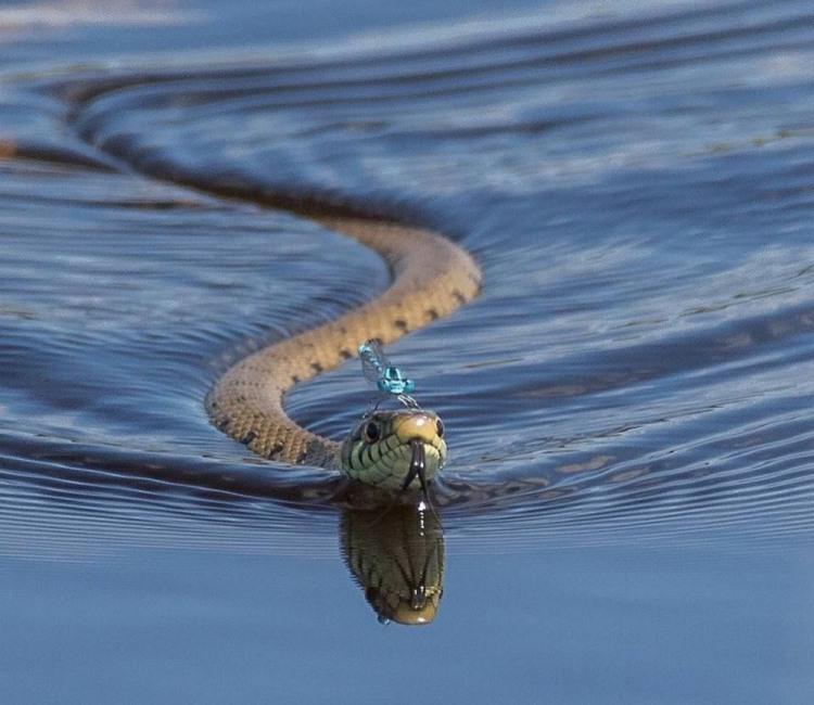 Водна прогулянка на змії