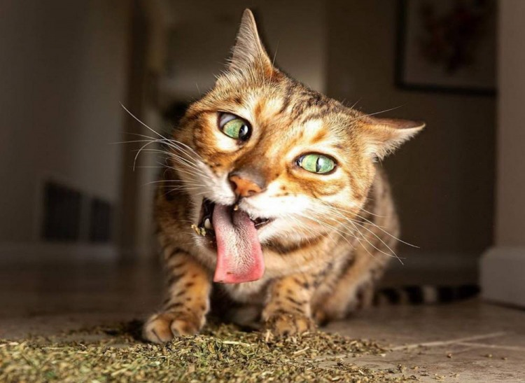 Кота ковбасить
