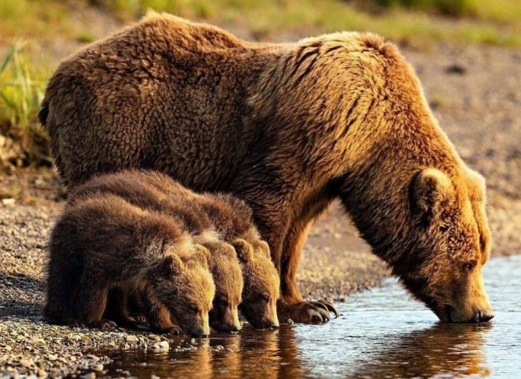 Ведмеді на водопої